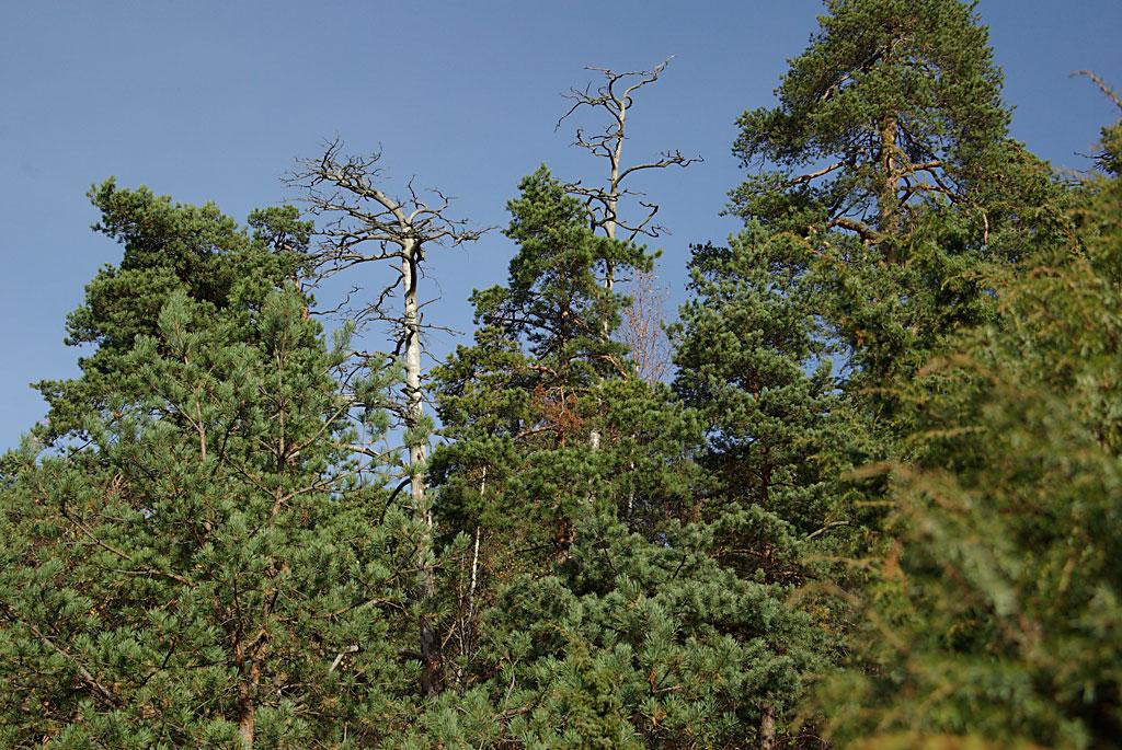 Biologisk mangfold med døde trær
