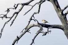 Bokfink i populært tre