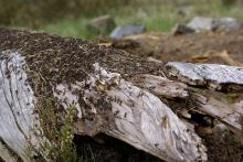 Maur liker godt døde trær