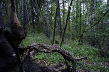 Rotskulptur i blandingsskog